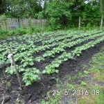 Kartoffelwachstum